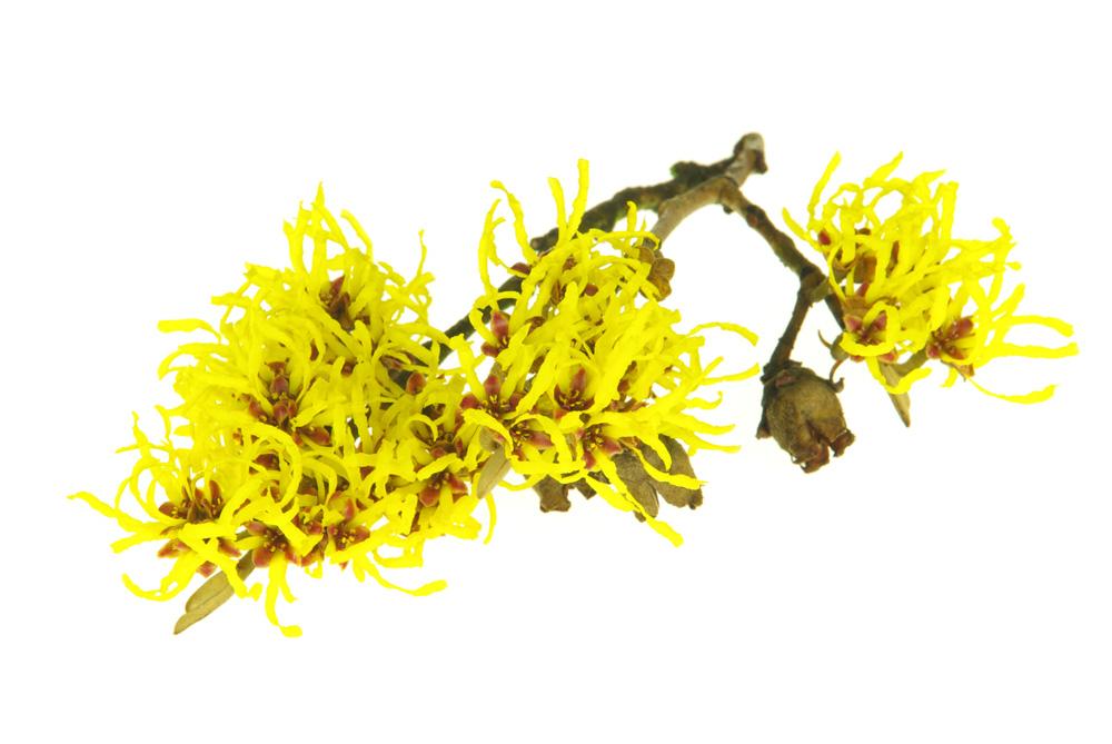 Bisabol Herb